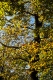 Tree with green, yellow and orange leaves on a sunny autumn day. Serbia Royalty Free Stock Images