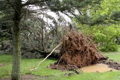 Tree on the ground from a storm. Tree and roots down on a lawn from storm damage stock photography