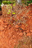 Tree grow in red clay Royalty Free Stock Photography