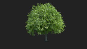 Tree Growing with Alpha Matte, 4K stock footage