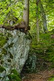 Tree growing on a boulder in the forest. Germany Royalty Free Stock Image