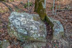 Tree growing through a boulder. A large boulder split in two by a tree growing right through the middle in the forest stock images
