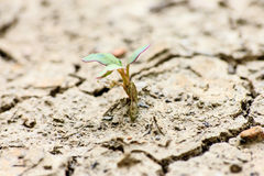 Tree growing through dry cracked soil Royalty Free Stock Photo