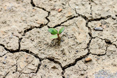 Tree growing through dry cracked soil. Fresh green tree growing through dry cracked soil Royalty Free Stock Photography
