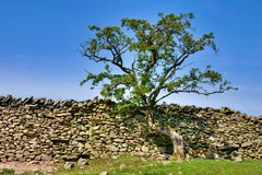 Tree growing on a dry stone wall Stock Photo