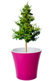 Tree growing from flower pot Stock Image