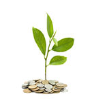 Tree Growing From Pile Of Coins Royalty Free Stock Image
