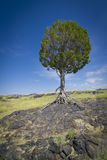 Tree growing im lava rock Stock Images