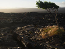 Tree Growing in Lava Field in Hawaii Stock Photo