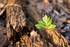 Tree growing from an old, dead, dying, rotted tree. Stock Image