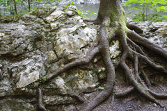 Tree Growing On The Rock Stock Image