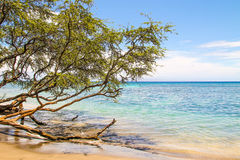 Tree growing over ocean in the beautiful Maui beach. In Hawaii Royalty Free Stock Photos