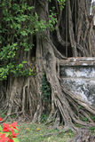A tree is growing in the park of a Buddhist temple in Hanoi (Vietnam) Royalty Free Stock Photography