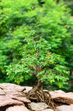 Tree growing on a rock. In garden Stock Photo