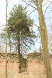 Tree growing in the ruins of the chapel of St. Mary Magdalene. Tree growing in the middle of the ruins of the chapel of St. Mary Magdalene in forest on hill royalty free stock photo