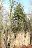 Tree growing in the ruins of the chapel of St. Mary Magdalene stock photography