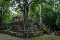 Old trees growing on ancient Maya temple complex in Muil Chunyaxche, Mexico royalty free stock photography