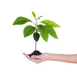 Tree growing in soil Royalty Free Stock Photo