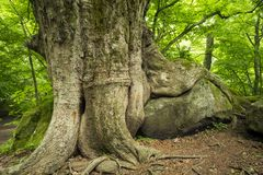 Tree growing on a stone. Large zelkova tree growing on a stone in fresh green forest Stock Images
