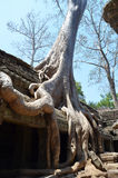 Tree growing on the temple of Ta Prohm Angkor Stock Images