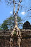 Tree growing on the temple of Ta Prohm Angkor Stock Image