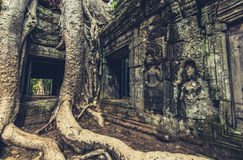 Tree growing on the temples Stock Photos