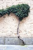 Tree growing on the wall Stock Photos