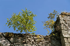 A tree growing on a wall Royalty Free Stock Photography