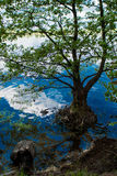 Tree growing in water Royalty Free Stock Images