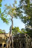 Tree grown over Ta Prohm temple, Cambodia Stock Photo