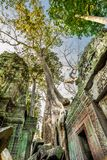Tree grown over Ta Prohm temple, Cambodia stock photography