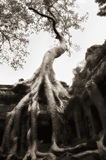 Tree grown over Ta Prohm temple walls, V2 Stock Photos