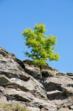 The tree grows on a cliff . Royalty Free Stock Photo