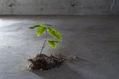 Tree Grows from Concrete. A single small oak tree on a cracked, dark concrete background Royalty Free Stock Photos