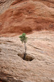 Tree Grows From Rock Royalty Free Stock Photo