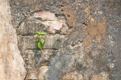 Tree growth through old wall Royalty Free Stock Images