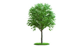 Tree growth on a round green grass. isolation. stock video footage