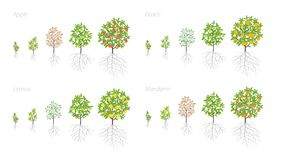 Tree Growth stages. Apple, peach and lemon mandarin increase phases. Vector illustration. Ripening period progression. Fruit trees. Life cycle animation plant stock illustration