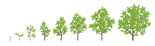 Tree growth stages. Vector illustration. Ripening period progression. Tree life cycle animation plant seedling phases. Flat vector color Illustration clipart vector illustration