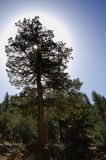 Tree With Halo. Sun shining through a pine tree in the Rocky Mountains in Colorado royalty free stock photos