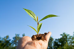 Tree in hand. Green Tree seedling in hand Royalty Free Stock Images