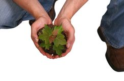 Tree In Hand. Gardener holding small maple tree for planting royalty free stock images
