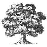 Tree hand drawn vector illustration realistic sketch Royalty Free Stock Photography