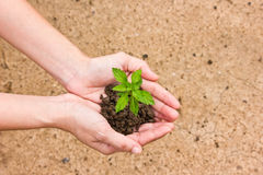 Tree in hand. Green young plant in hand Royalty Free Stock Photography