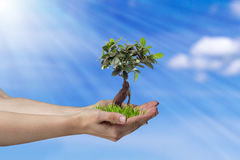 Tree in hands Royalty Free Stock Image