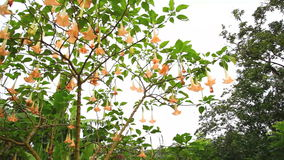Tree with Hanging Flowers. A tree with trumpet-like hanging flowers stock footage