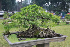 Tree in Hanoi. Very miniature treein Hanoi, Vietnam Stock Photography