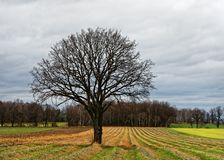 Tree on harvested field in front of a forest stock photo