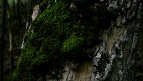 Ants crawl around the crust of a tree. The tree has green moss.Gray bark of a tree.The back background is blurred stock footage