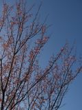 The tree has red leaves on a clear blue sky background. For the natural background stock images